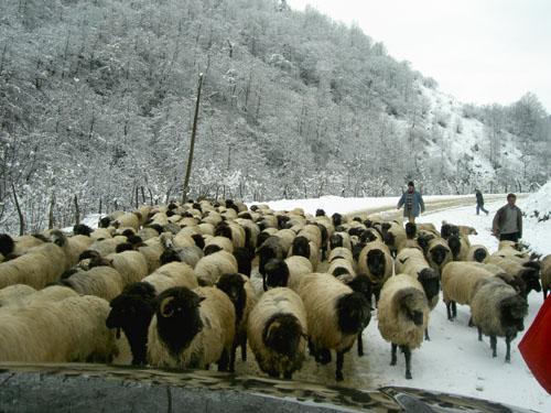 Alucrada Koyun ve Koç Dağıtılacak