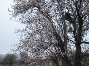 İlçemizde Bazı Ağaçlar Çiçek Açtı