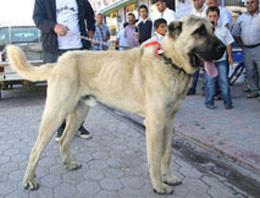 Sivas Kangal'ın 25 bin TL'lik köpeği