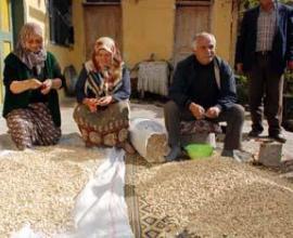 Suşehrin'de Antep fıstığı hasadı başladı