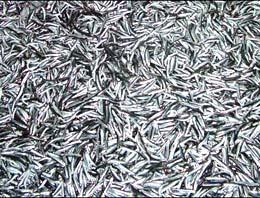 Karadenizli balıkçılar kışı iple çekiyor