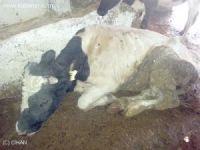 Suşehri'de Hayvan Pazarı 1 Eylül'e Kadar Kapatıldı
